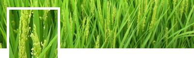 稲の開花・受粉